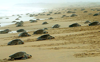 350sea-turtles