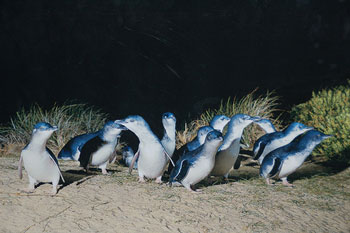 phillipislandpenguins