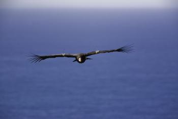 California Condor by Bob Stefko