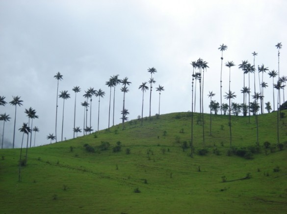 Cocora's valley and wax palm trees governing the Andeans landscape