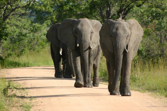 Elephants-585x390
