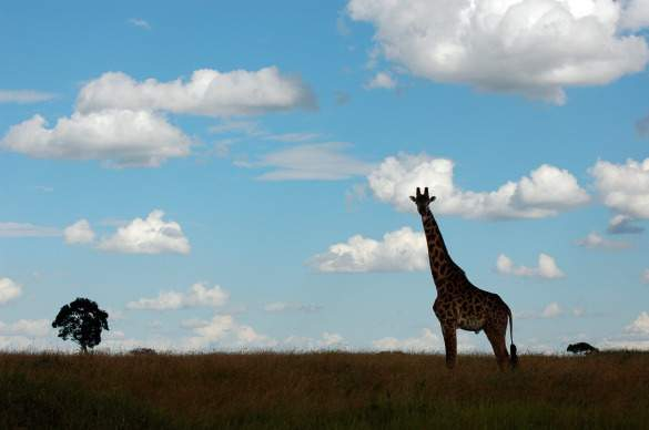 A lone giraffe crossing the Masai Mara