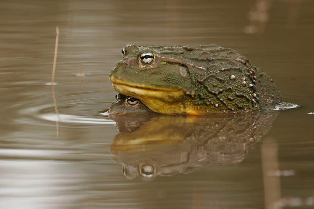 food-bullfrog