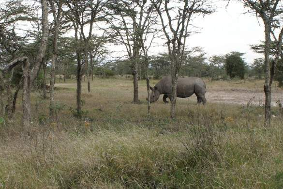 Baraka, a protected black rhino. 