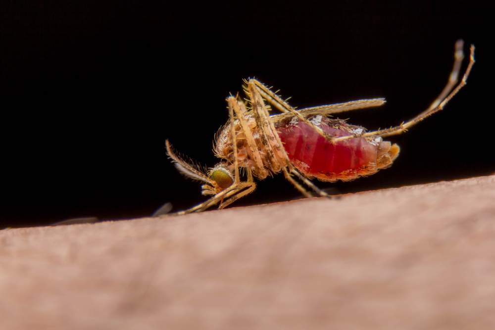 dangerous-mosquito