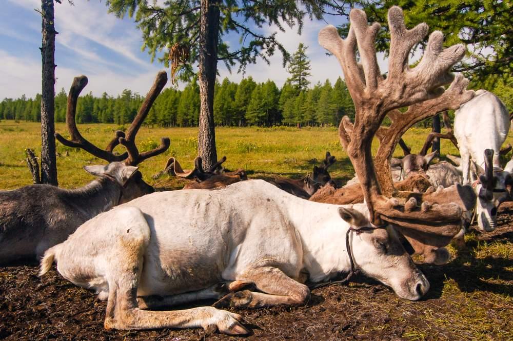 mongolia reindeer