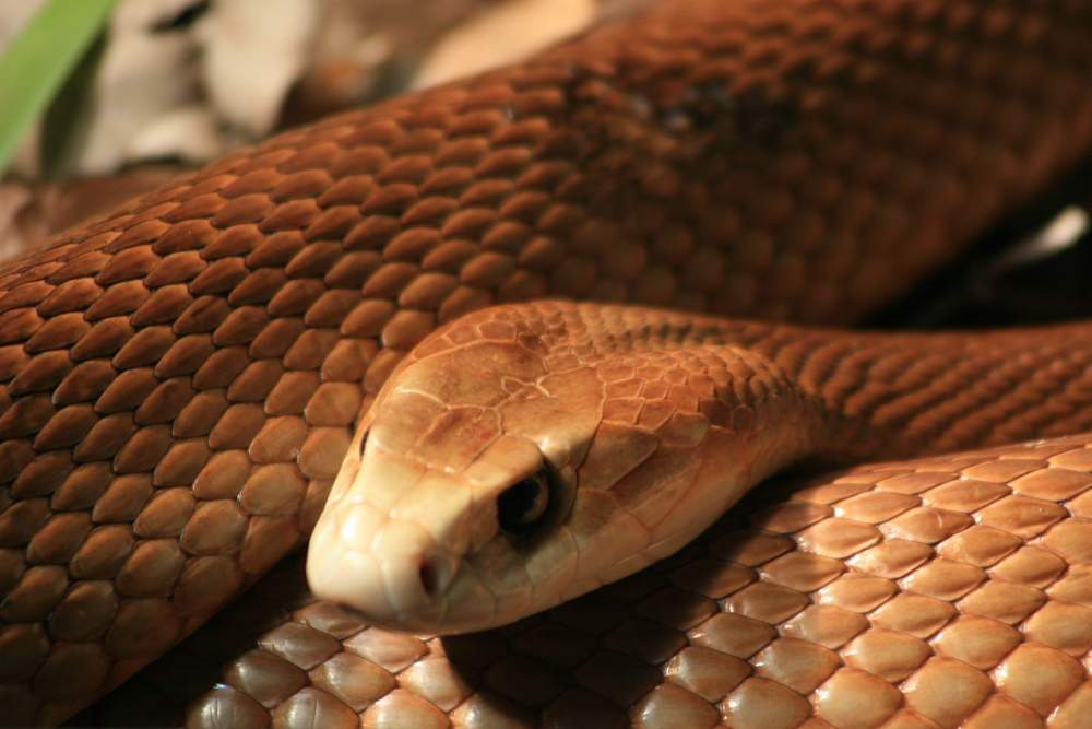 australia snake