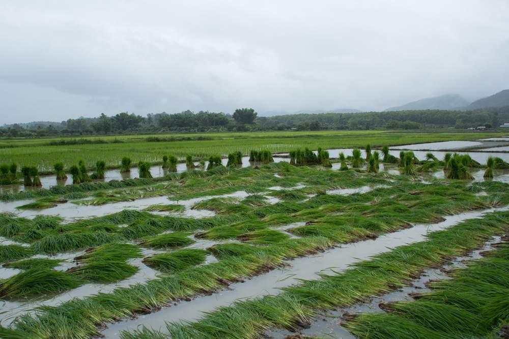 thai rice paddies