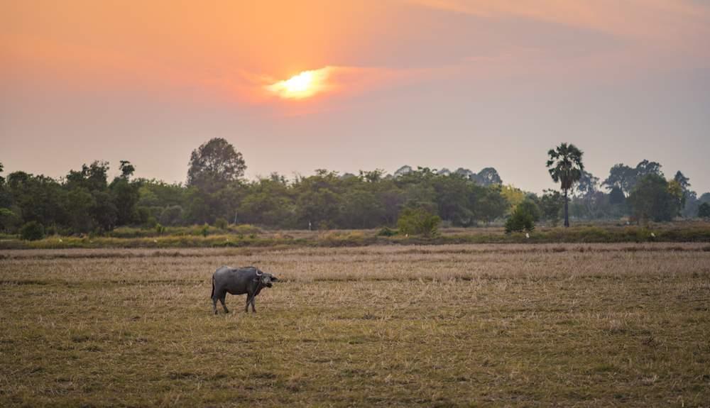 Water Buffalo, rice field, Northern Thailand