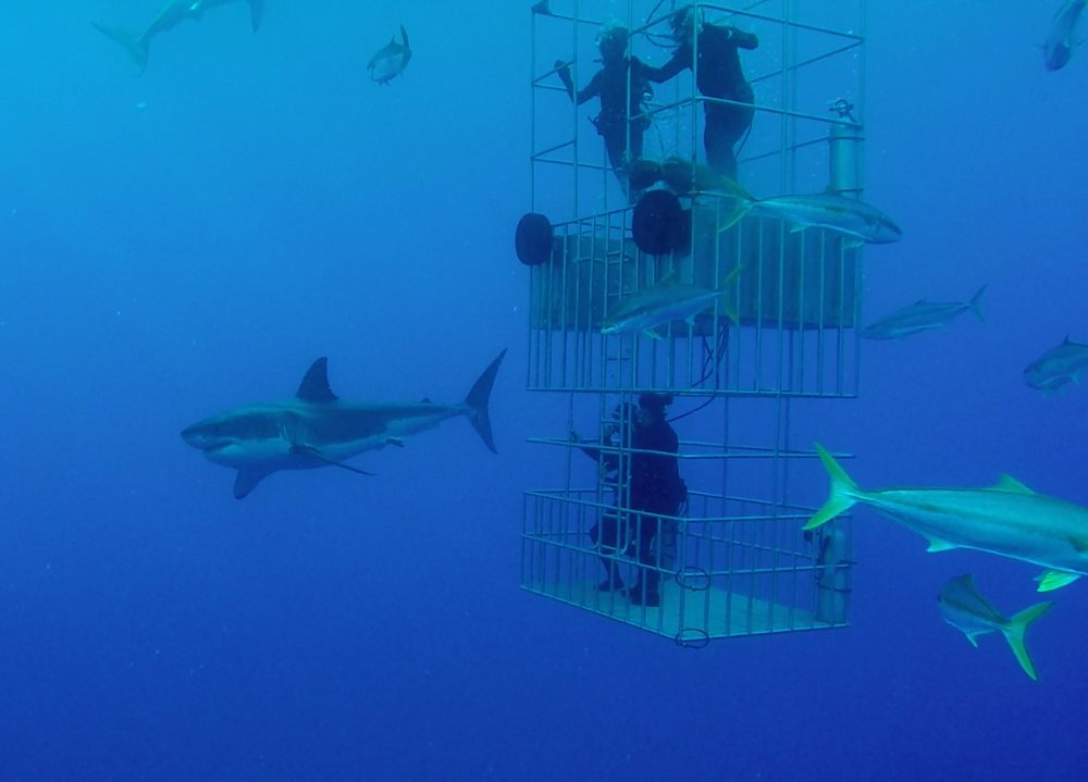 Sharks and cage-divers
