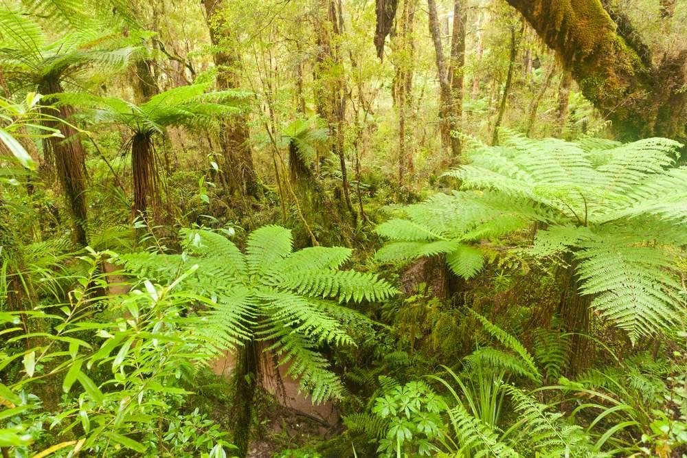 Ferns in New Zealand