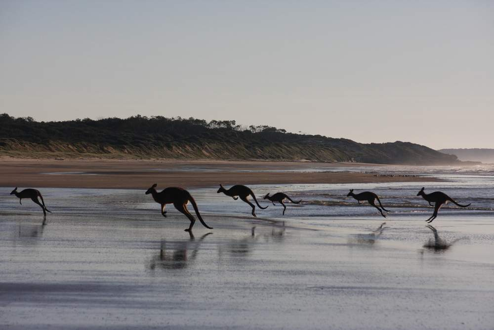 Kangaroos on the Beach, Australia
