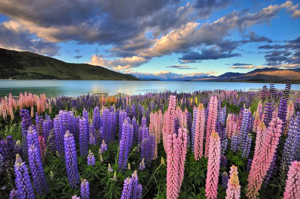 Lupins on South Island Coast, New Zealand