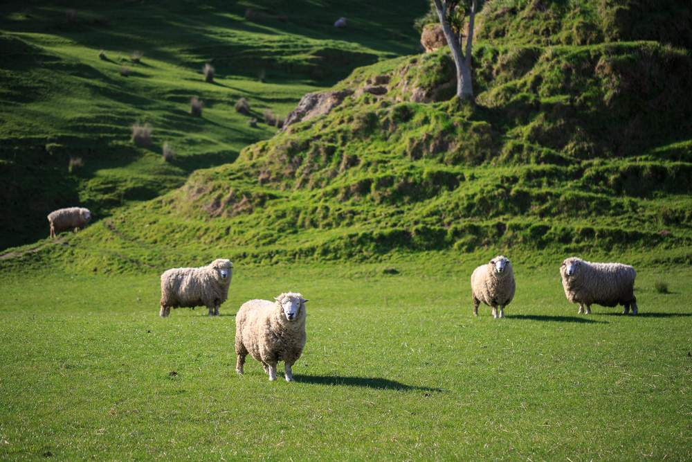 Green hills and sheep in New Zealand