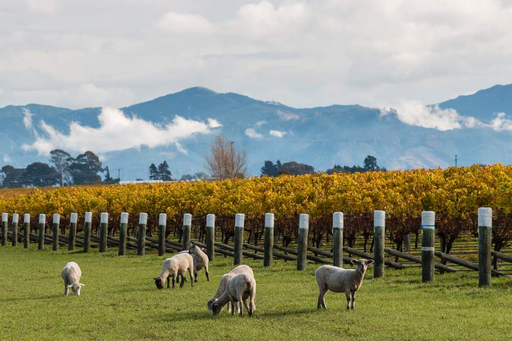 Vineyards in New Zealand's Marlborough Region