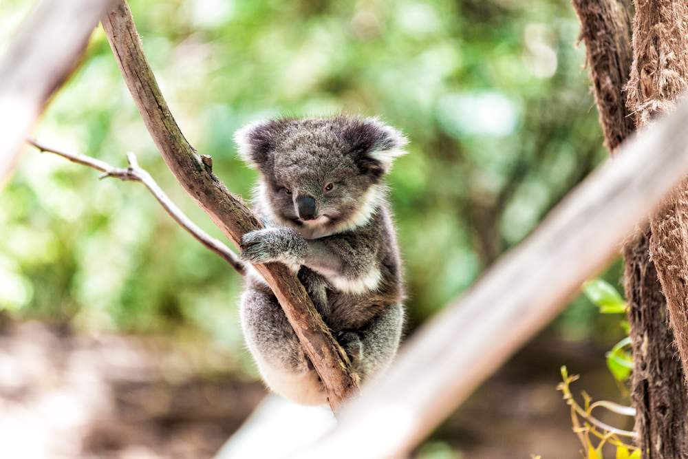 Koalas are one of many of Australia's unusual species