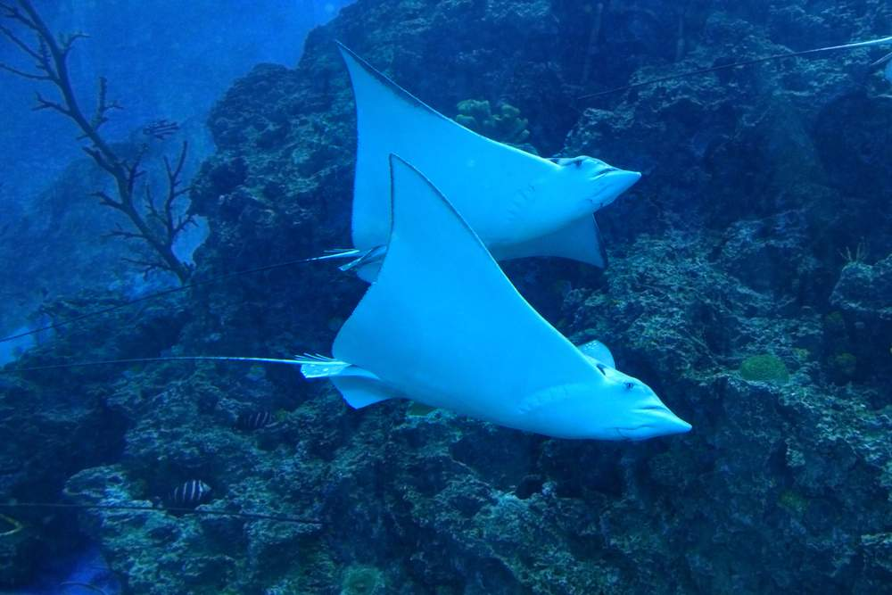 Hamelin Bay is an Australian Stingray sanctuary