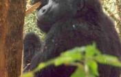 Gorillas in our Midst – Uganda
