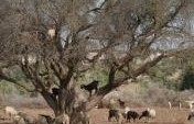 Goats in Trees &#8211; Morocco, Africa