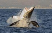Top 10 Shark Infested Beaches in the World
