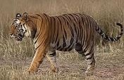 Trekking Tigers in the Wild – India, Asia