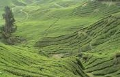 Cameron Highlands, Malaysia