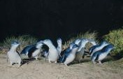 Penguins On Phillip Island, Australia – Choreographed By Nature