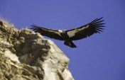 California Condor Encounters at Pinnacles & Big Sur