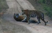 Tales from the Jungle Book- Bandhavgarh, India