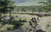 The Great African Wildebeest Migration