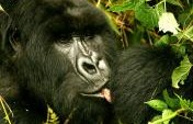 King Kong Comes to Life: (Very) Close Encounters with a Silverback in Rwanda's Parc National des Volcans