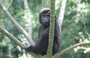 Mountain Gorilla Adventure – Uganda, Africa