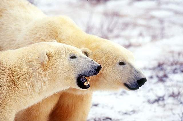 what causes polar bears to become endangered